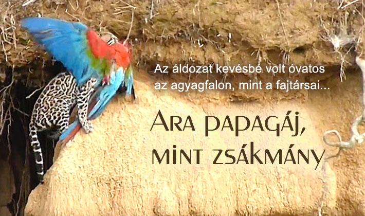 Ara papagájt zsákmányol az ocelot