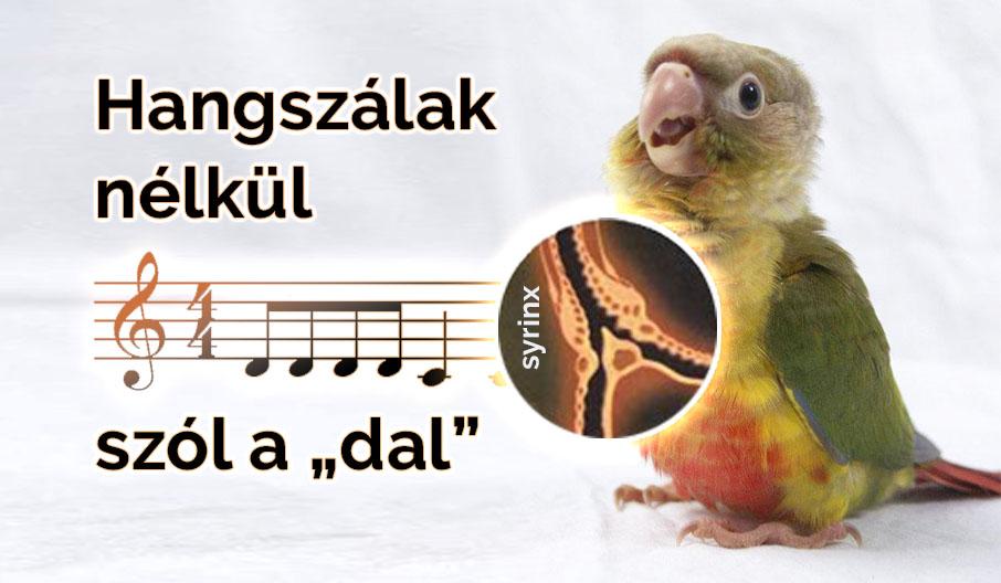 A papagájok különleges hangképzése