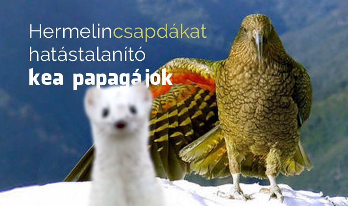 Csapdákat hatástalanító kea papagájok