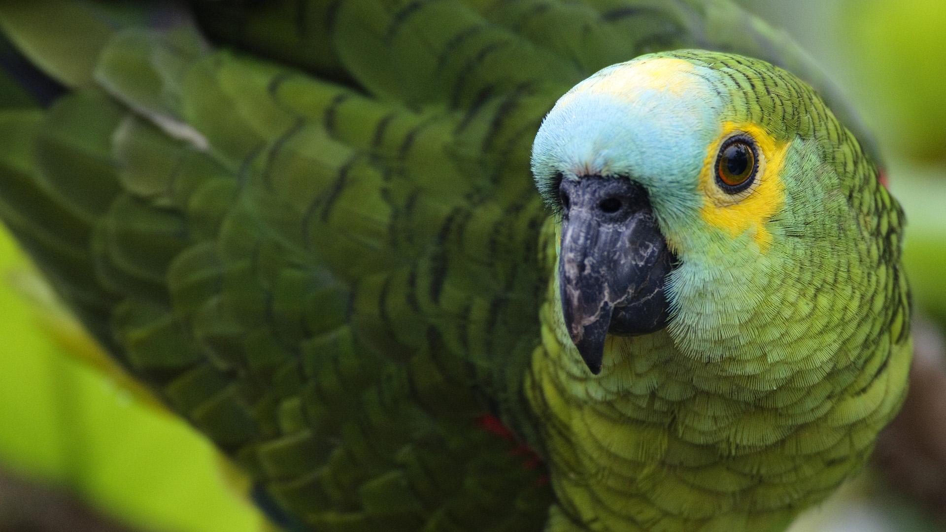 Картинки по запросу попугай амазон
